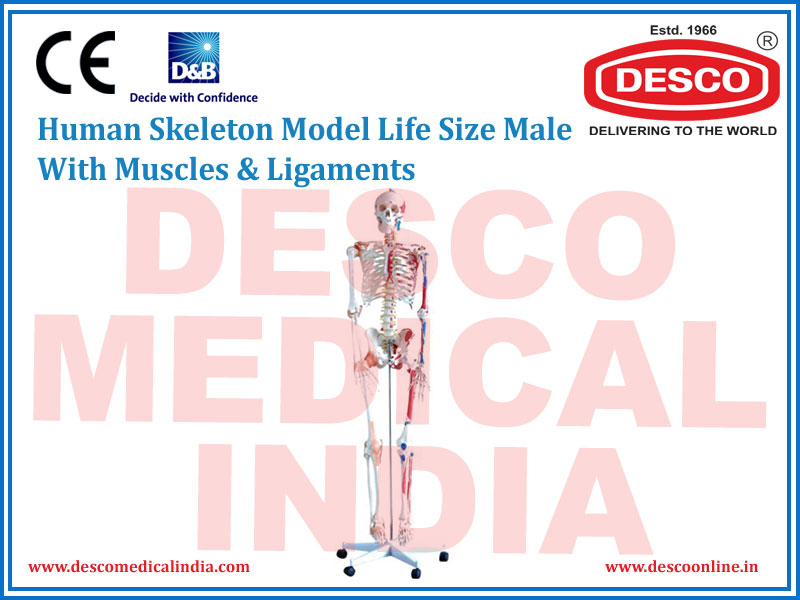 HUMAN SKELETON MODEL LIFE SIZE MALE WITH MUSCLES & LIGAMENTS